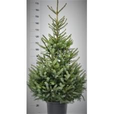 Set Picea omorika in pot, met nobilis